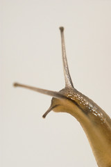 Snail (gizmo-the-bandit) Tags: garden snail portrait macro wildlife nature uk mollusc