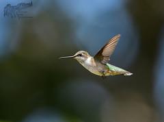 Hummingbird 7_25 1 (krisinct- Thanks for 12 Million views!) Tags: nikon d500 500 f4 vr g