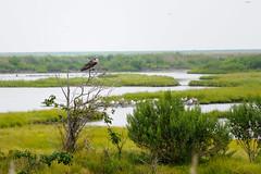 Osprey in Forsythe Wildlife Refuge (IanHartS) Tags: edwinbforsythenationalwildliferefuge usa 7002100mmf4056 nikon osprey water birds newjersey animals daylight day d700 atlanticcity galloway unitedstates us