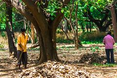 Je ne peux pas t'oublier, peux-tu m'oublier? (- Ali Rankouhi) Tags: india bangalore karnataka men cubbon park leaves