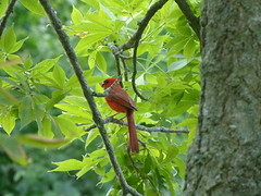 Cardinal (Thomas Kelly 48) Tags: panasonic lumix fz150 canada ontario toronto cardinal
