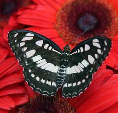 Changi Butterfly Garden Singapore (Uhlenhorst) Tags: 2015 singapore singapur animals tiere travel reisen