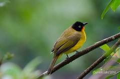 Yellow Bulbul (Dunkin Jalki) Tags: yellowbird bird twig green yellow leaf rubythroatedyellowbulbul yellowbulbul flamethroatedbulbul bulbul pycnonotusdispar