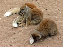 IMG_9578 (LincolnWarrior) Tags: yorkshirewildlifepark animal wild mongoose
