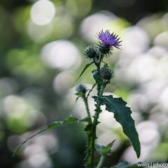 Distelbokeh (willis   photo) Tags: august wald bokeh distel blte