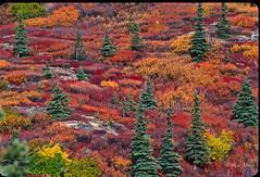 Alaska Tundra Color in the Fall (morrobayrich) Tags: alaska tundra fallcolor droh dailyrayofhope