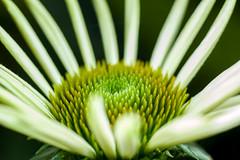 Echinacea (Yunhyok Choi) Tags: echinacea pentax pentaxk3 closeup flora flower green macro nature petal pistil plant stamen seoul southkorea kr