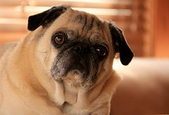 Turning 9 years young. (eddiemo106) Tags: edmahala pug dog cookie