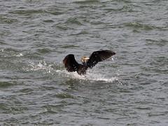 Great cormorant () (Greg Peterson in Japan) Tags: egretsandherons shiga birds cormorants wildlife deba japan yasugawa ritto rivers shigaprefecture jpn