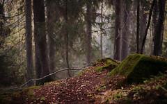 In The Forest Of The Morn (Kojaniemi) Tags: kimmoojaniemi morn morning dawn woods spruce moss branch leaf autumn fall autumnfoliage mist