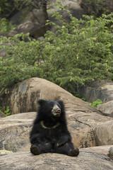 Sloth Bear_Relaxed (varmarohit) Tags: bear slothbear daroji wildlifephotography wilderness wildlifephotograph wildindia wildlife wild naturephotography nature naturephotograph rohitvarma rohit