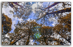 Tall Pine trees in the forest, stretching up into the sky! (KS Photography!) Tags: trees pine lushgreen colorful janjehlivalley janjehli himalayas himalayan nature scenery beautyinnature light wood forest branch hiking trekking reserve majestic tall abstract natureabstract beautiful fresh beauty bluesky quiet scene background woodland beams deep vivid environment mystic jungle outdoor cloudscape hikers uphill height meadows horizontal travel himachal shikari shikaridevi temple huntergoddess rooflessshrine lowangle intothesky ecology countryside