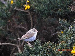 Photo of Booted warbler 2