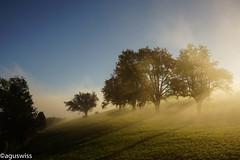 Sunrise in the mist (aguswiss1) Tags: sunriseinthemist sunrise nature sky bluesky cows