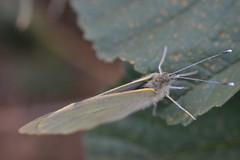 Pieris en diciembre (esta_ahi) Tags: barcelona españa insectos fauna butterfly spain lepidoptera mariposa penedès pieris papallona pieridae испания santmartísarroca fontsangonera