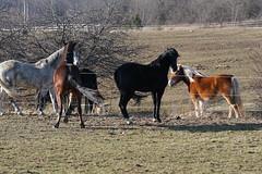 DSC00332 (jmbedel) Tags: horses horse andalusian friesian gelding geldings irishdraft