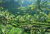ricefieldDSC_4466 (Yande Ardana) Tags: ricefield 4466