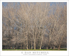 Central Valley Winter Trees (G Dan Mitchell) Tags: california county trees winter usa nature america print landscape farm bare north stock central merced row valley license sanjoaquin agricultural