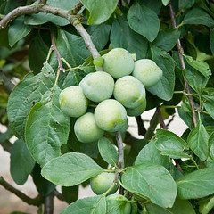 Plum 'Early Green Gage' (Alan Buckingham) Tags: fruit gage brogdale prunusdomestica greengage plumearlygreengage