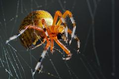 DSC_8838 (Lopshire Photography) Tags: macro closeup spider nikon arachnid tripod sigma underside frio entomology macrophotography d4 enlightphoto 3leggedthing sigma50th orbisrgallery orbisgallery orbisrf gearupwithsigma