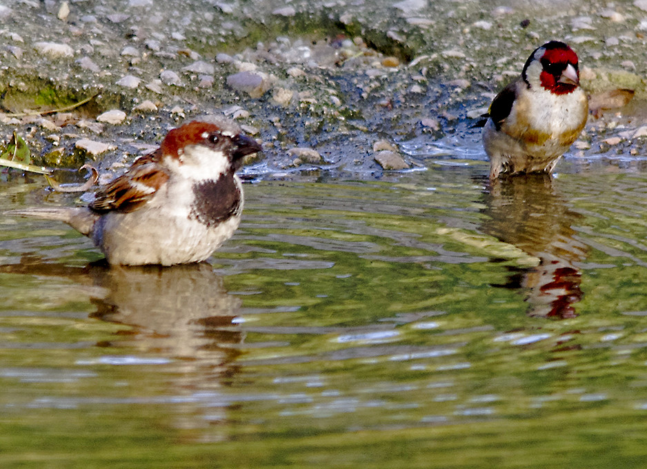 jilguero bird drinking water - photo #3