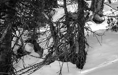 20150307 (zzkt) Tags: snow branches lichen ch iso160 f57 leicasummiluxm35mmf14asph leicam9 sec secatf57 lejdalschds huhnensee