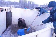 DSC_4111 (S Mair) Tags: bison roundup elkislandnationalpark woodbison bisonconservation templegrandonfacility bisonhandling flyingshotbisonhandlingfacility