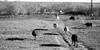 180 - 3 - Mass Exodus (jeanmariehoward) Tags: blackandwhite shadows 180 harsh cowsonparade massexodus nikond600