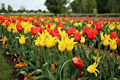 Tulipsfield (Andy von der Wurm) Tags: flowers plants germany deutschland flora europa europe tulips blossom pflanzen blumen alemania colourful allemagne farbig nordrheinwestfalen bunt laga landesgartenschau tulpen blueten blten northrhinewestfalia zlpich hobbyphotograph calorful tulipsfield zuelpich andreasfucke andyvonderwurm
