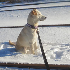 A peanut sat on a railroad track, his heart was all a-flutter (yooperann) Tags: railroad dog snow chicago sitting tracks daisy chicagoist