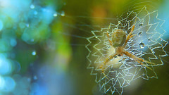 Signature Spider (Soumik's Photography (Wildlife)) Tags: macro spider wildlife signature agriope
