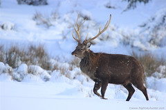 Stag In Snow - N. Ireland (4) (Nightskyhunter On Flickr) Tags: winter snow weather stag wildlife deer nireland 2015 cookstown sikadeer deerinsnow loughfea martinmckenna nightskyhunter