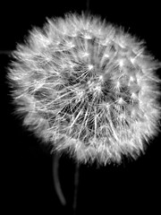 dandelion bw (seanfderry-studenna) Tags: light plant flower nature monochrome closeup season golden stem weed exposure blossom bokeh outdoor softness scenic meadow seed fluffy fluff dandelion grayscale delicate botany wildflower fragile dandelions brow beautyinnature dandelionshead