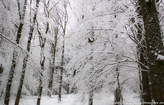 20150201_MG_6534 (charme.nature) Tags: hiver neige arbre fort allrightsreserved bois manhay arbresfortboissapinhtraiechnehtre charmenature chertogen ghislainetjeanne balladequad