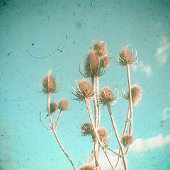 Distant (_cassia_) Tags: blue autumn white beach nature floral clouds turquoise bluesky etsy thistles folksy lightbrown cassiabeckphotography