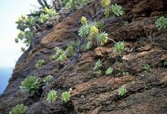 Aeonien - Charakterpflanzen der Kanaren (fotoculus) Tags: españa flora canarias vegetation lapalma canaryislands spanien aeonium kanarischeinseln diascans urlaubsreise1991