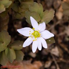 Percy Warner Park - March 17, 2015 (mikerhicks) Tags: usa geotagged unitedstates nashville hiking tennessee wildflowers flowersplants warnerparks nashvillehikingmeetup vaughnsgap canon7dmkii sigma18250mmf3563dcmacrooshsm geo:lat=3607109500 geo:lon=8689127333