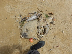 Mass fish death at Pasir Ris east off Carpark A, 2 Mar 2015 (wildsingapore) Tags: nature island marine singapore underwater wildlife litter coastal shore threats farms pasirris intertidal seashore marinelife aquaculture wildsingapore massfishdeath