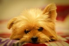 Bailey (jt.13) Tags: dog pet cute yorkie animal puppy sleepy pomeranian sel50f18 sonya6000