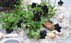 Zwart viooltje. (mia_moreau) Tags: plant nederland zwart bloemen limburg zand bloem zuidlimburg viooltje viooltjes witzand rotstuin