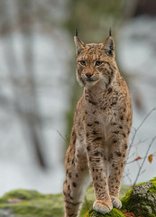 Lynx (fire111) Tags: winter snow green nature beautiful beauty animal germany march photo nikon european forrest wildlife marc predator wald f28 lynx bavarian bayerische mamal 400mm 2015 luchs vandaele fire111