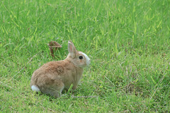 20160605-IMG_8364.jpg (ina070) Tags: animals canon6d grass pet rabbit
