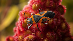 Small Milkweed Bug (Chris Lue Shing) Tags: nikkorsauto35mmf28 nikonpk13 offcameraflash macro insect bug lygaeuskalmii closeup garden red orange smallmilkweedbug nikond50 flash nikon d50