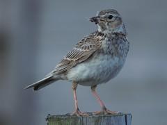 Sky Lark (rickfrancis105) Tags: skylark ryeharbour eastsussex rye sea coast reserve naturereserve