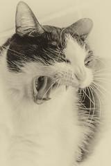 No, no es tan fiera... (Egg2704) Tags: gato gatos cat cats mascota mascotas pet pets tola animal animales naturaleza naturalia egg2704