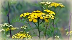 Meadow Yellow (Bob's Digital Eye) Tags: back30 bobsdigitaleye bokeh canon canonefs55250mmf456isstm depthoffield flicker flickr flower flowers outdoor plant prairieplants t3i wildflowers yellow brilliant