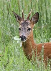 roebuck (gus guthrie1) Tags: red summer green nature rain angus scottish deer antlers explore roedeer roebuck rspb kinnordyloch