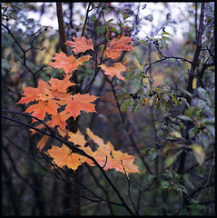 (Armin Schuhmann) Tags: old orange canada color 120 6x6 film nature wet rain analog zeiss vintage mediumformat square outdoors prime leaf maple haze focus fuji dof natural quebec bokeh superia montreal branches ct ishootfilm foliage hasselblad automn negative carl roll pelicula cds normal analogue manual filme northeast f28 400asa argentique filmscan planar gossen analogic 80mm xtra carlzeiss c41 filmphotography 2015 unicolor filmphoto filmisnotdead analogo oberkochen lunapro automnn believeinfilm buyfilmnotmegapixels bay50