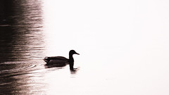 Mallard Playing in the Rain (EX22218 - ON/OFF) Tags: playing water rain duck waves peaceful mallard ripples