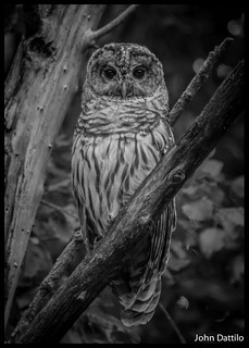 A juvenile Barred Owl @ Muscatatuck NWR, hunts the edge of the woods.